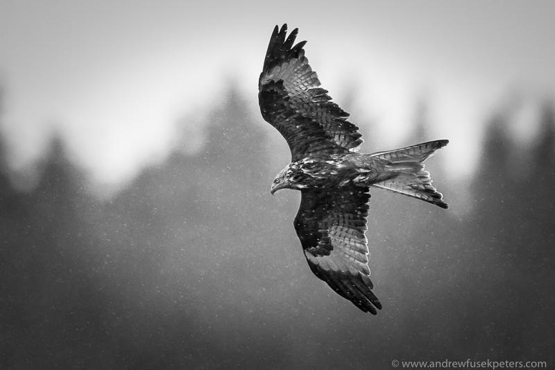 red kite in the rain - UK Hawks