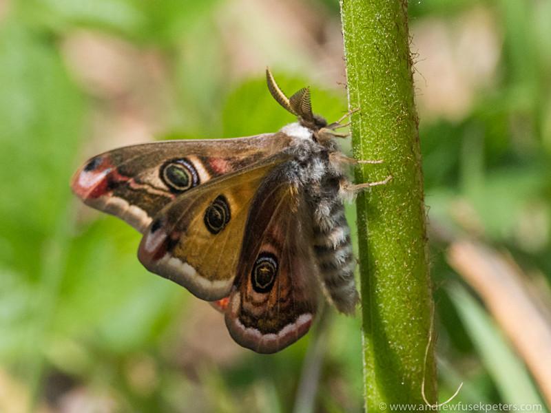 emporer moth Whixall Moss - Olympus Wildlife