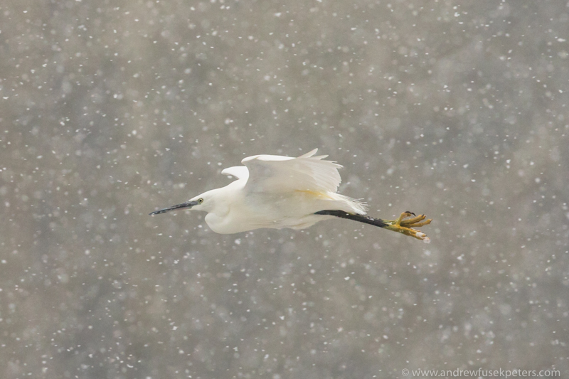 Little egret in the blizzard among the trees 3-1 - The Hill & Vale of Home