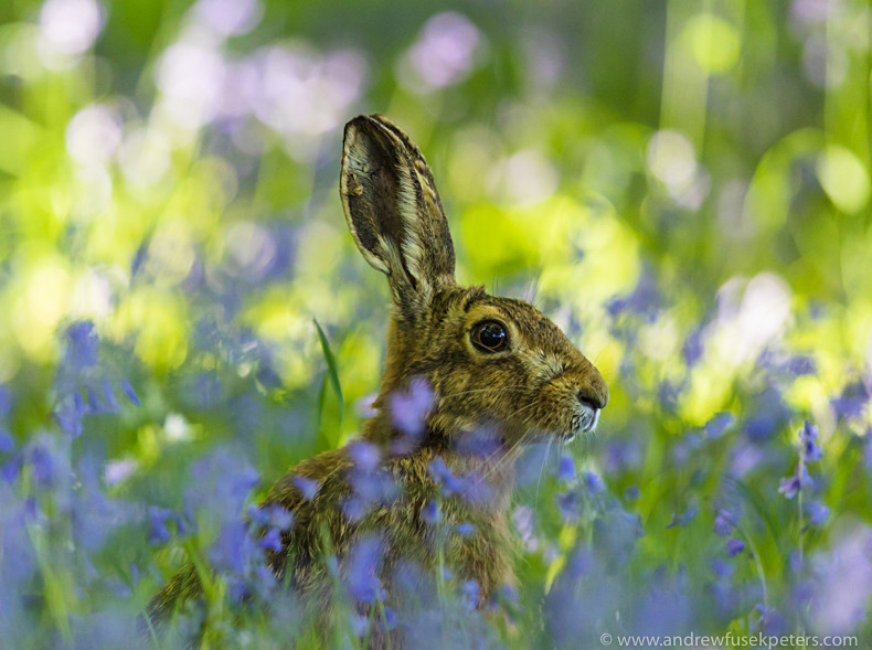 Hare in the bluebells - Showcase