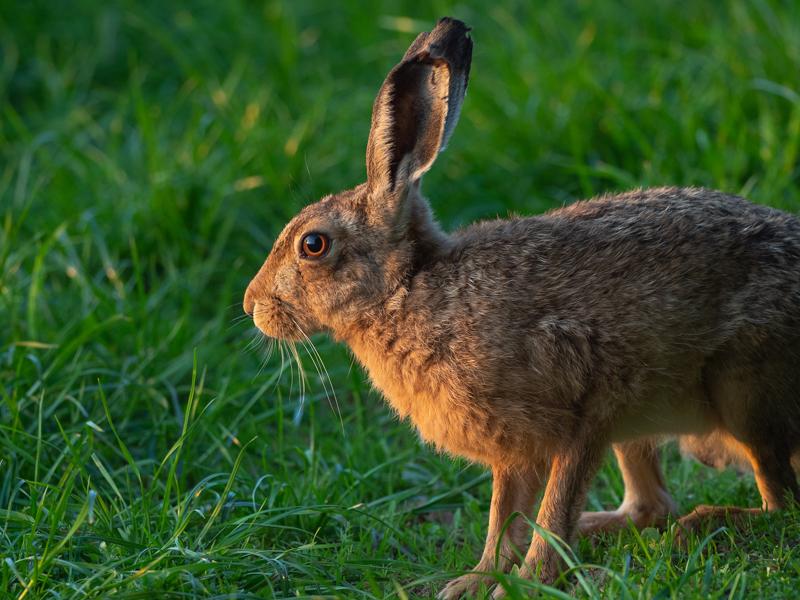 hare at sunset sitting portrait-2 - Olympus Wildlife