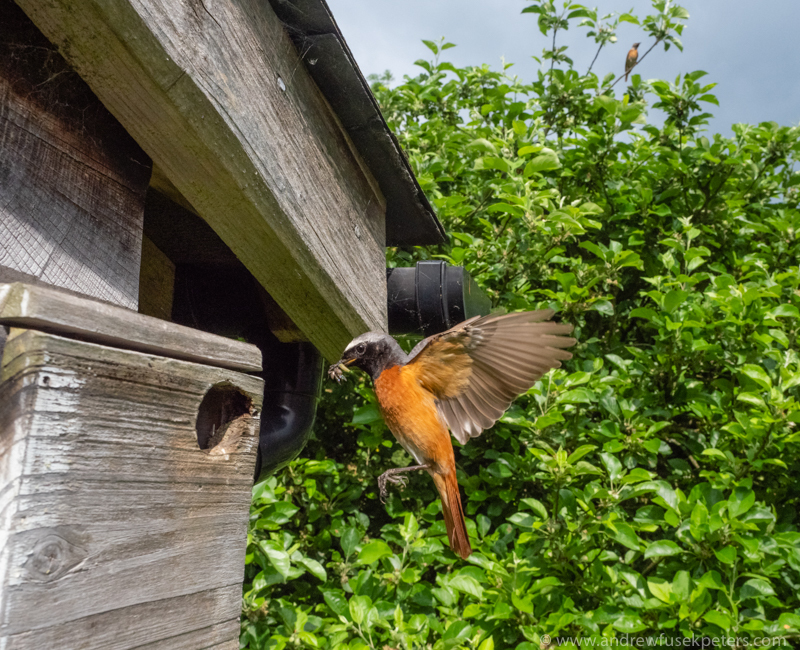 redstart coming into the nest female in background wide angle - Olympus Wildlife