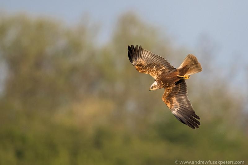 Marsh Harrier Far Ings - UK Hawks