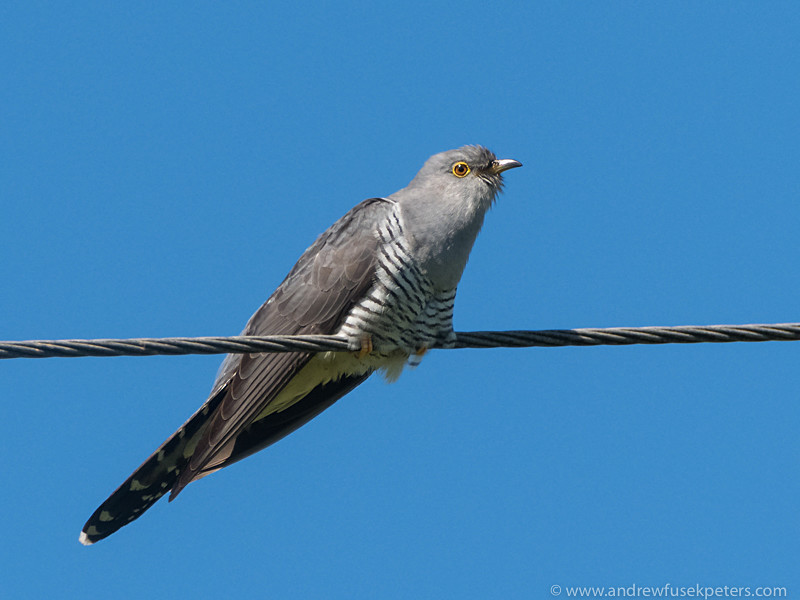 cuckoo portrait 1 - Olympus Wildlife