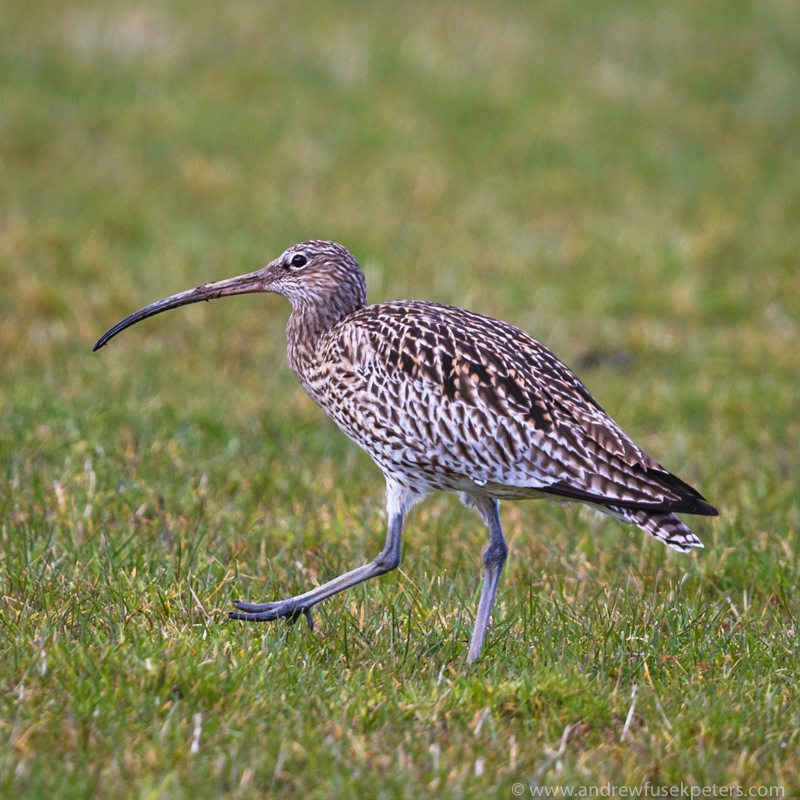 Curlew, Bridges - Upland, Shropshire's Long Mynd & Stiperstones