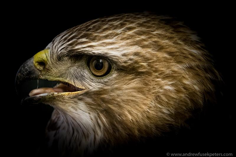close up rescue buzzard portrait - UK Hawks