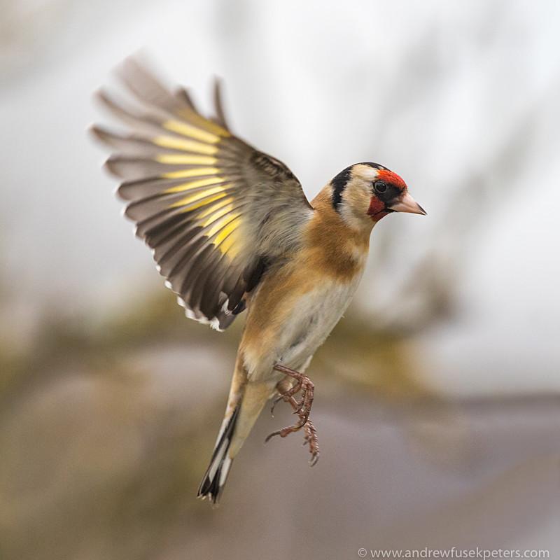goldfinch in flight - Garden Birds