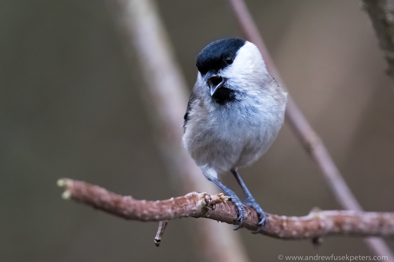 coal tit, Kempton - UK Birds