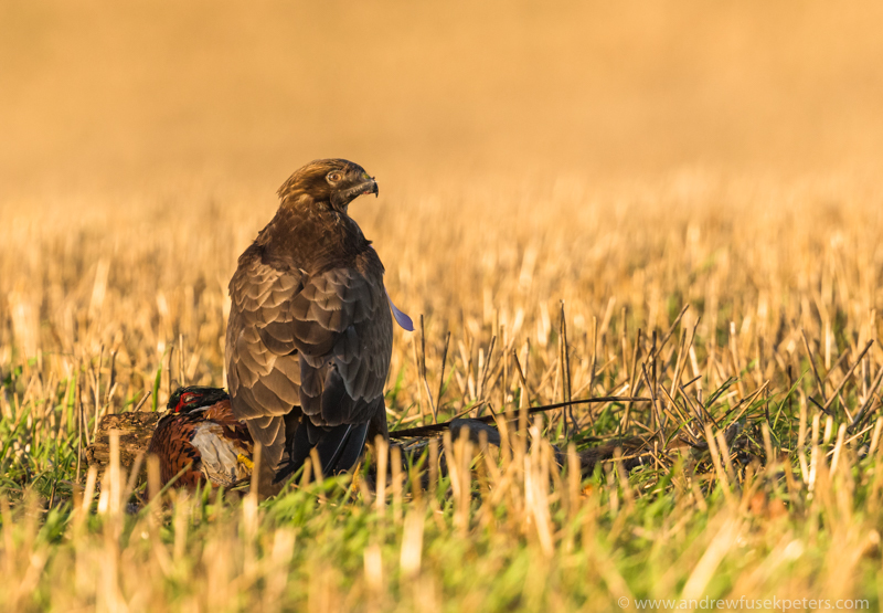 buzzard feeding 3 - UK Hawks