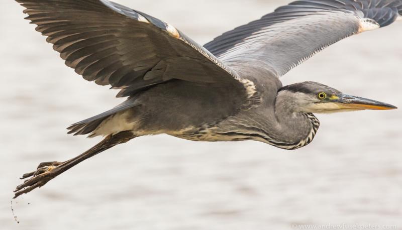 heron close up Venus Pool - UK Birds