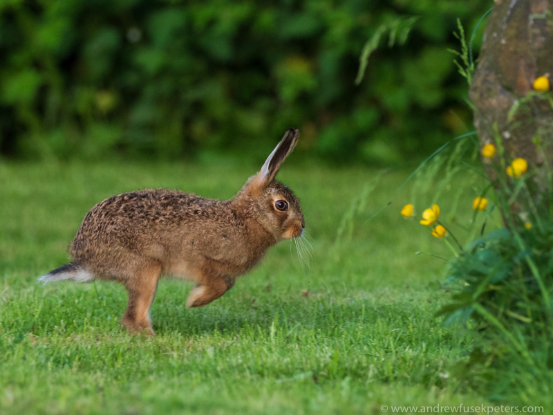 the leaping leveret - Olympus Wildlife