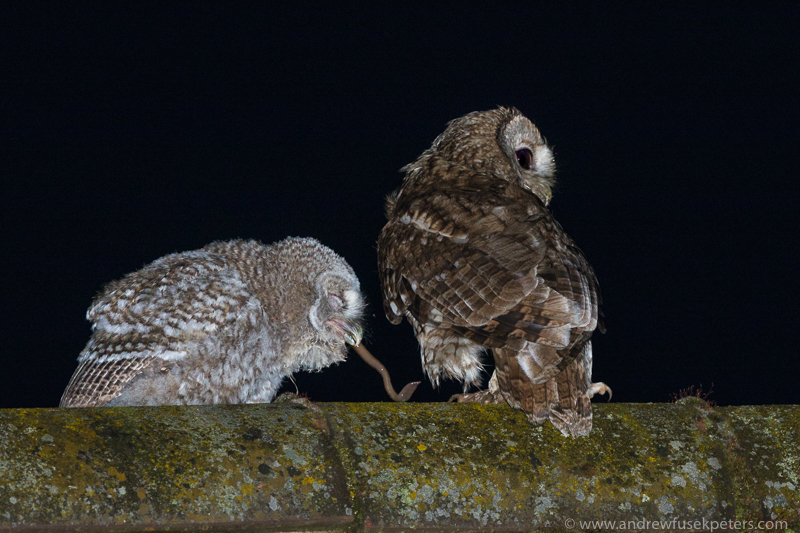 Tawny chick and mum 3 - UK Owls