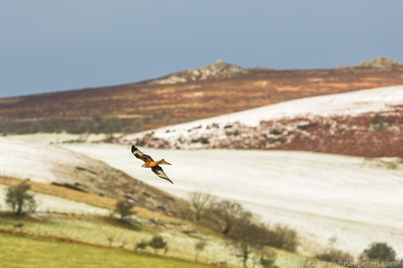 Red kite with snowy Stiperstones backdrop - UK Birds of Prey