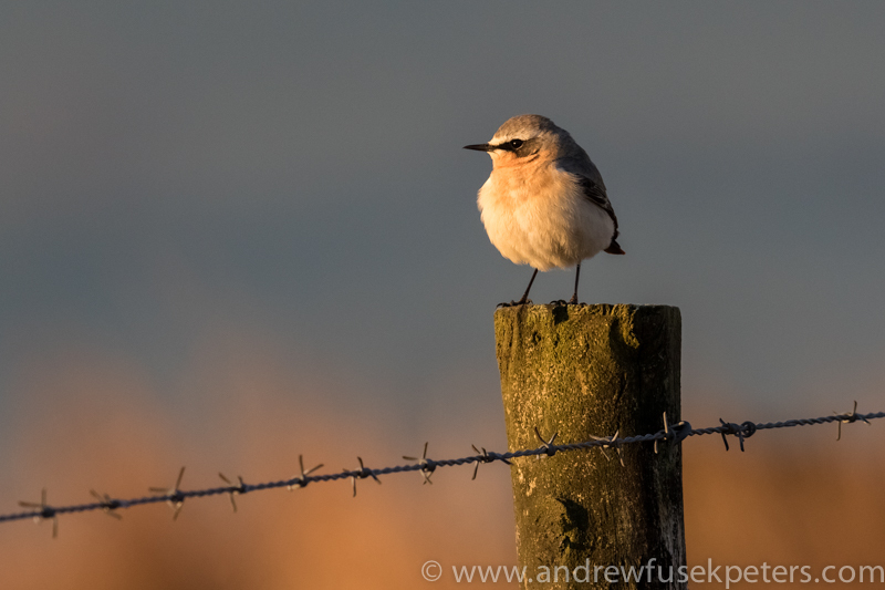 Wheatear at dawn on Stiperstones - Wilderland, Wildlife & Wonder from the Shropshire Borders