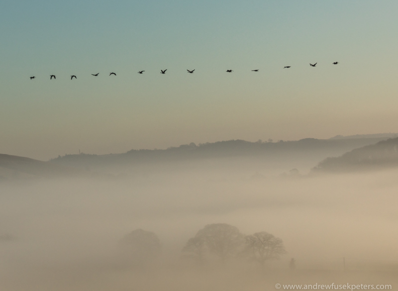 The geese at dawn - UK Birds