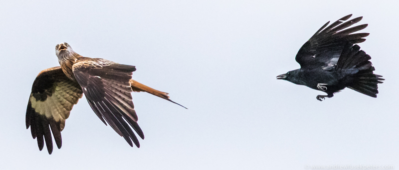 Red kite chased by crow - Upland, Shropshire's Long Mynd & Stiperstones
