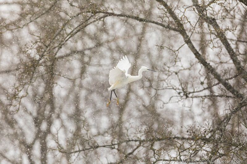 Little egret about to land in the blizzard - UK Birds