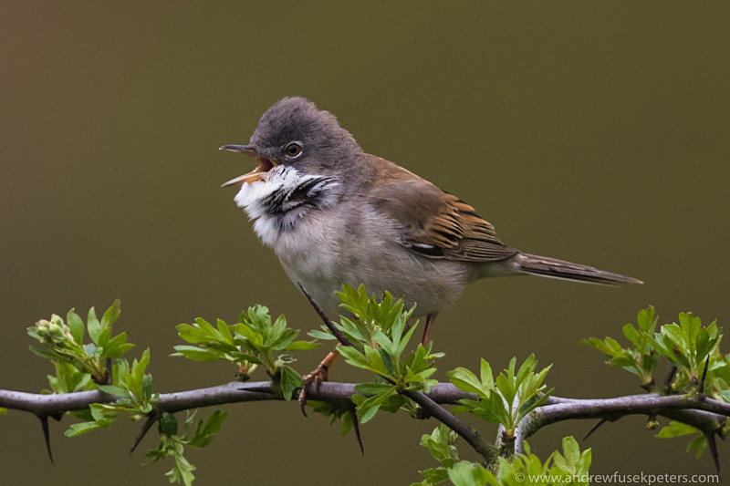 Whitethroat, Long Mynd - Upland, Shropshire's Long Mynd & Stiperstones