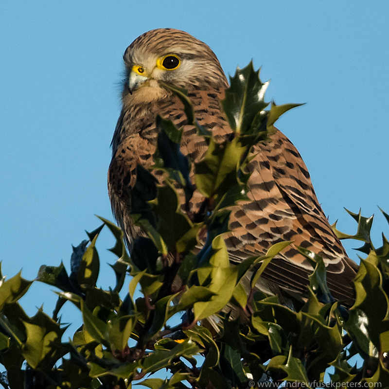 Kestrel at Bury Ditches - UK Hawks