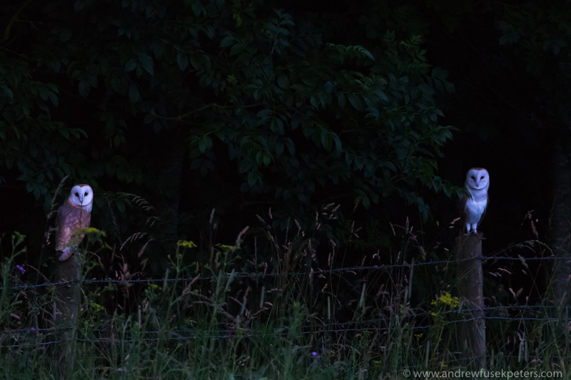 Two barn owls at dusk - UK Owls