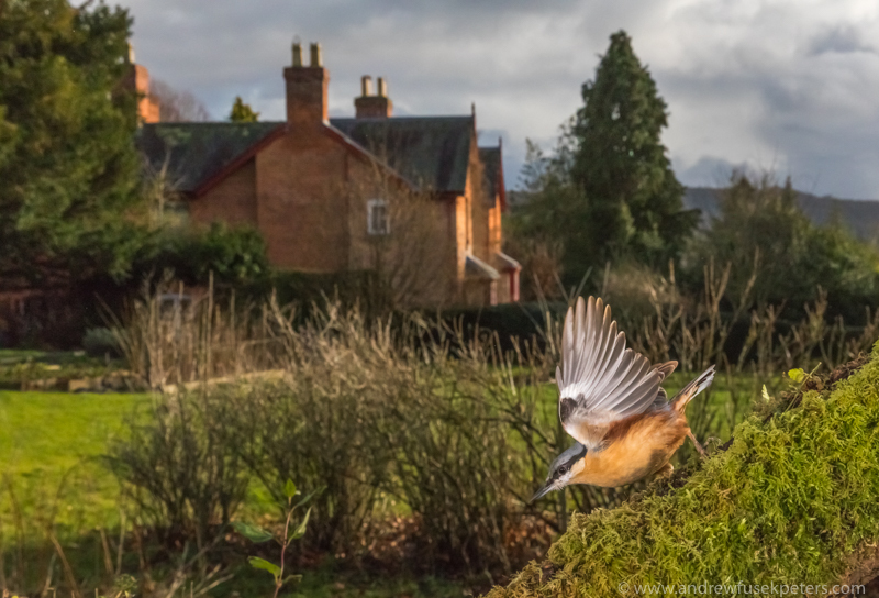 Nuthatch in the garden - Wide-angle Wildlife