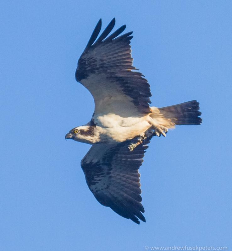 Osprey with twig 3 - UK Hawks