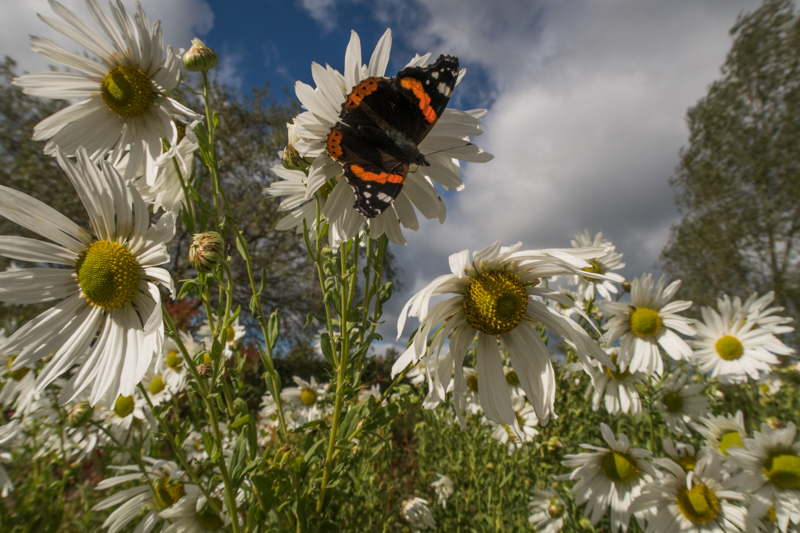 butterfly in the flowers - Wide-angle Wildlife