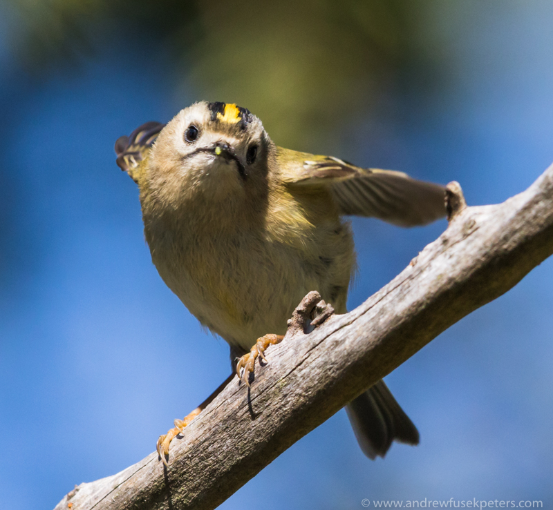 Goldcrest in the churchyard - UK Birds