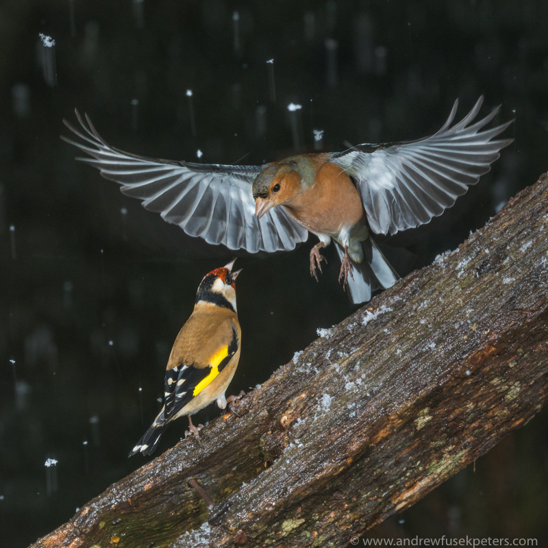 Flare of the finches in the snow - The Hill & Vale of Home