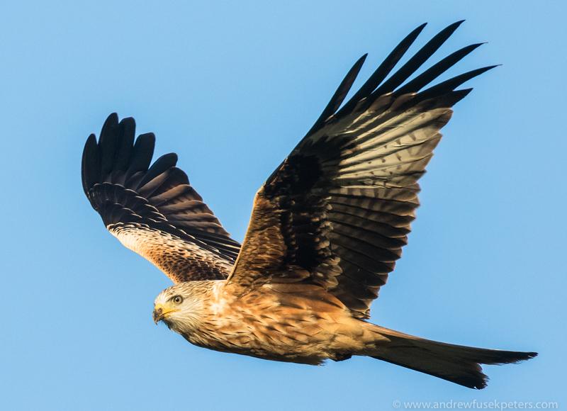 Kite in flight - UK Hawks