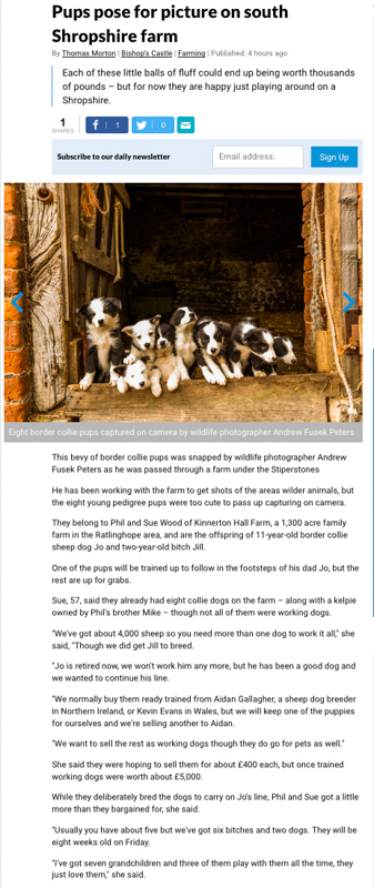 Shropshire Star online border collie pups-1 - Media & Awards
