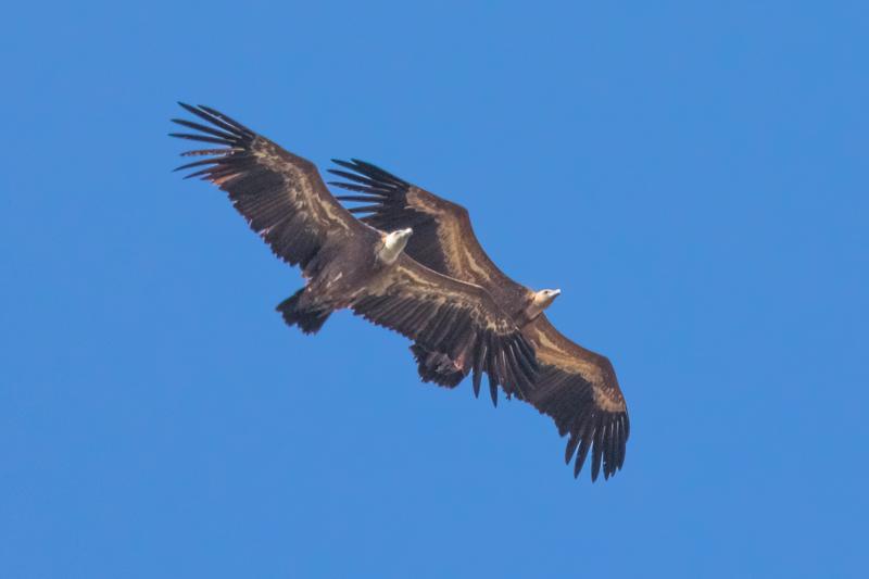 Migrating griffon vultures-2 - Spain and Vulture/Eagle Migration October 2017