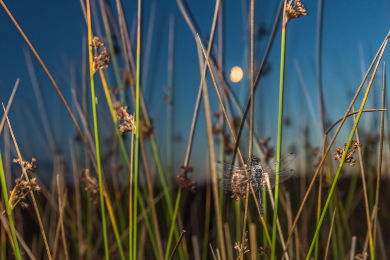 black darter and the setting moon - Wide-angle Wildlife