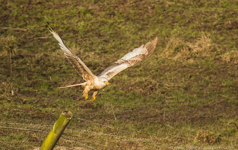 Leucistic red kite take-off, Stiperstones - Upland, Shropshire's Long Mynd & Stiperstones