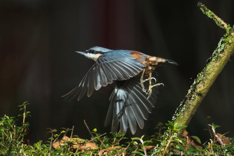 Flight of the nuthatch - Garden Birds