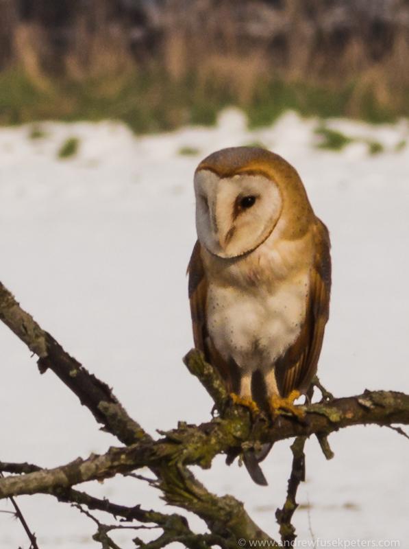 barn owl portrait 7 - UK Owls