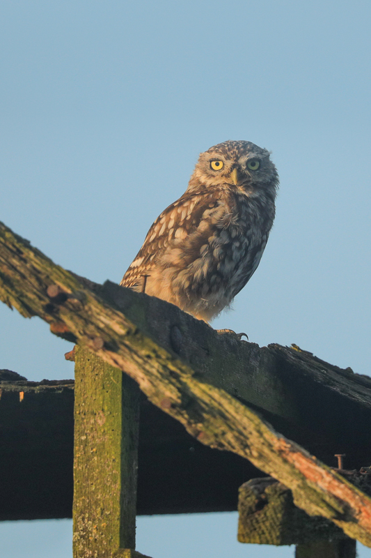 little owl in the evening light - UK Owls