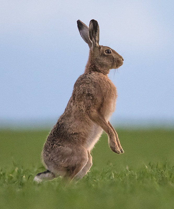 Hare at dusk - Hares