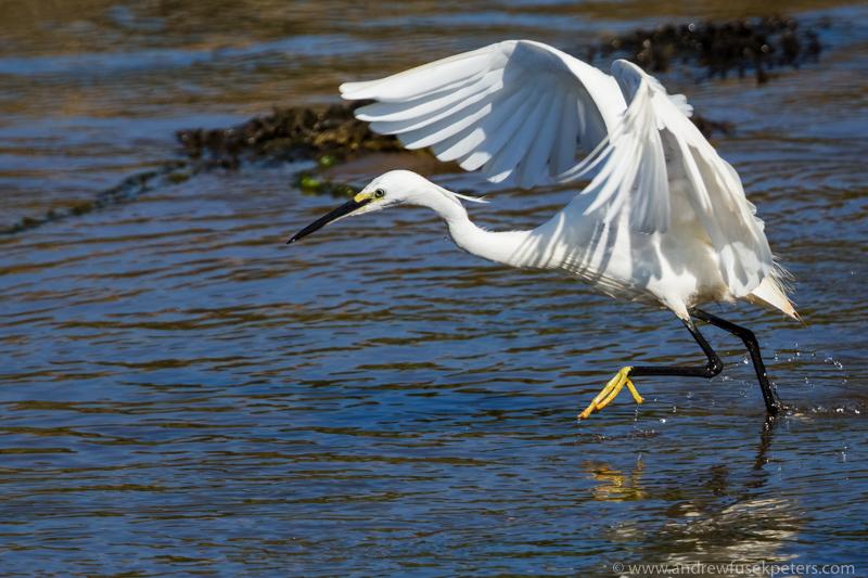 Little Egret Anglesey - UK Birds