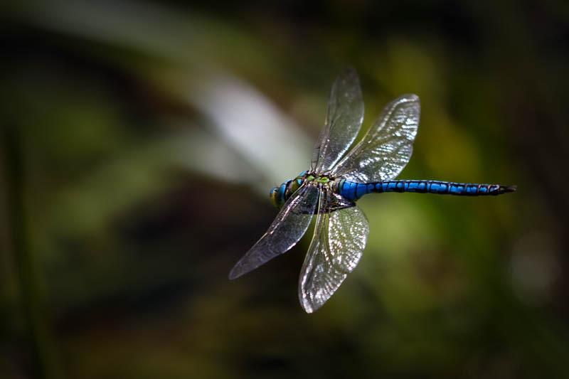 Emperor dragonfly in flight - Wilderland, Wildlife & Wonder from the Shropshire Borders