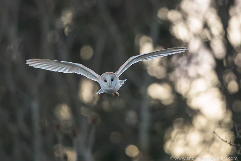 Barn owl at dusk South Shropshire - UK Owls