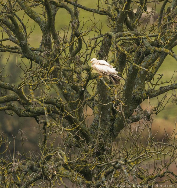 Leucistic white kite near Stiperstones 3 - UK Birds of Prey