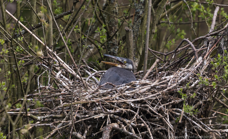 Heron chick at heronry, Shropshire borders - UK Birds