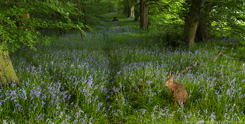 Hare in the bluebell woods - The Hill & Vale of Home