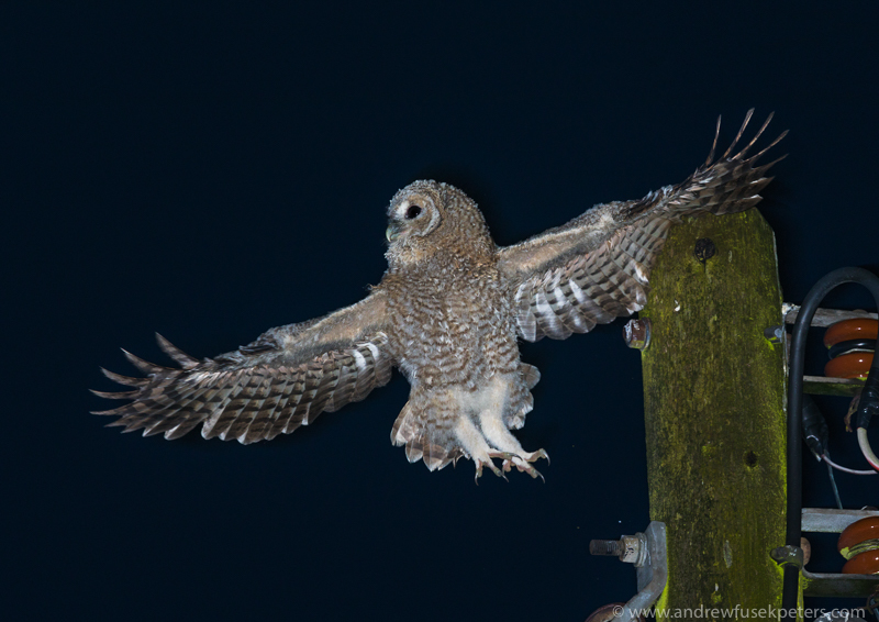 Tawny chick flight and telegraph pole - UK Owls