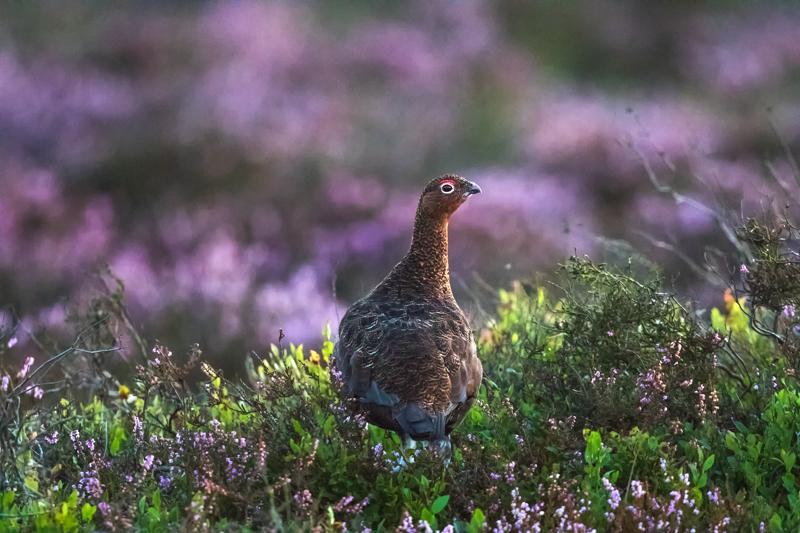 Red grouse at dusk - Upland, Shropshire's Long Mynd & Stiperstones