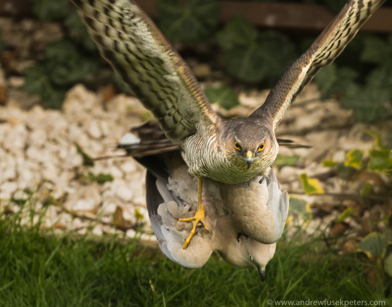 sparrowhawk and collared dove 2 - UK Hawks