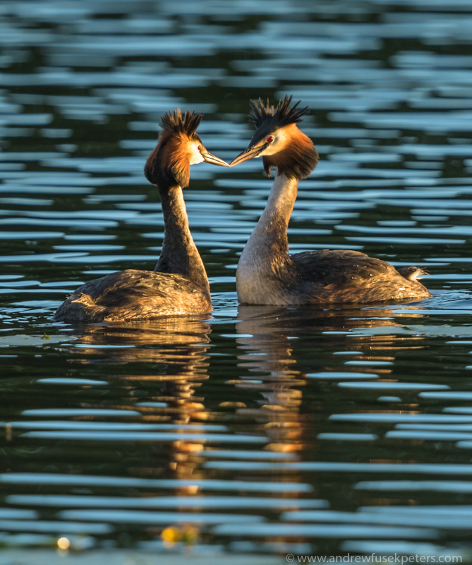 Grebes at sunset, Dudmaston NT - UK Birds