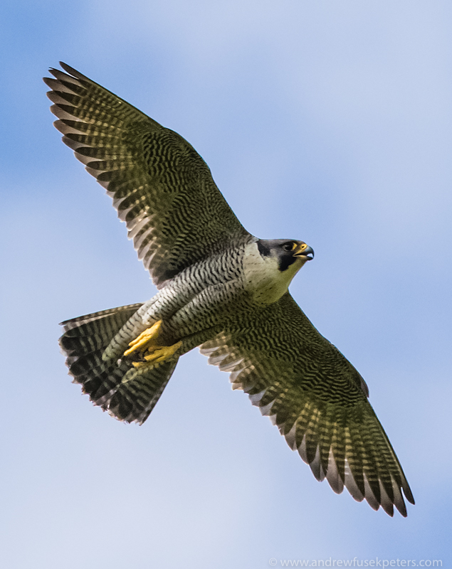 peregrine  in south Shropshire 1 - UK Hawks