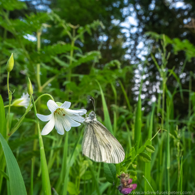 wood white butterfly wide angle at dusk - Olympus Wildlife